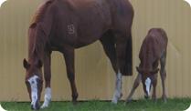 Breeding mares with frozen semen
