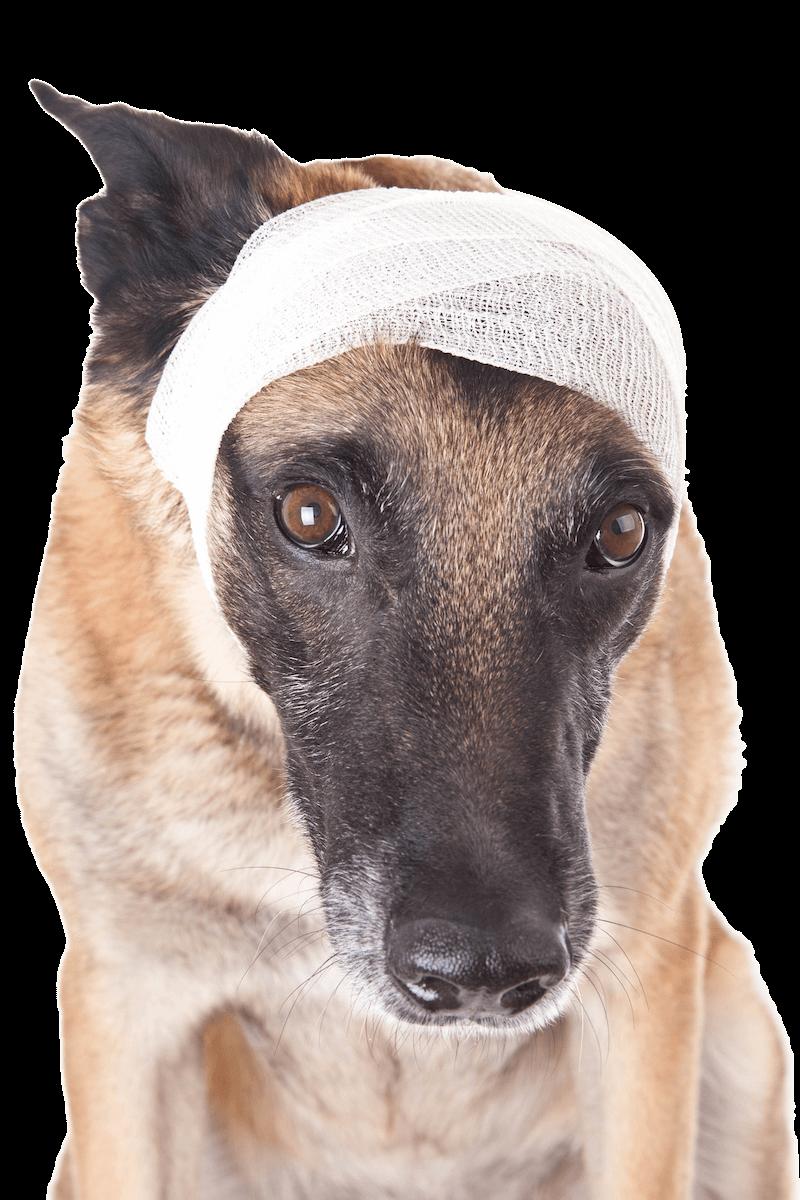 banaged-dog-head800