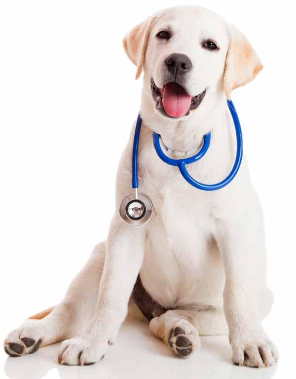 lab-pup-stethescope600web