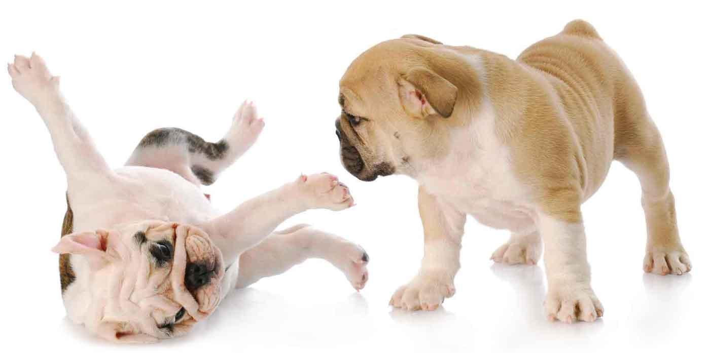 2puppy-bulldogs1400white