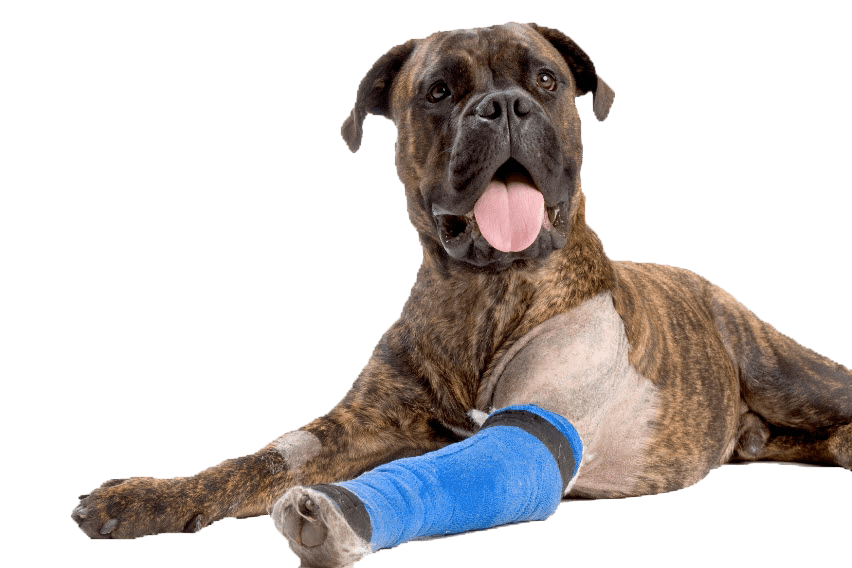 dog-boxer-asc-bandage-arm852