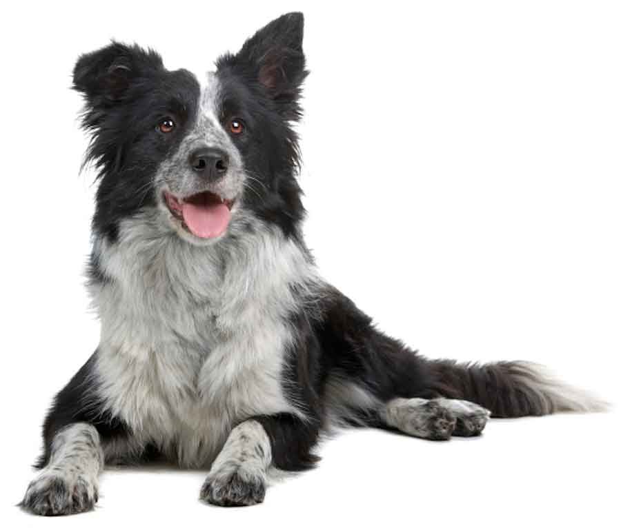 border-collie-dog900white