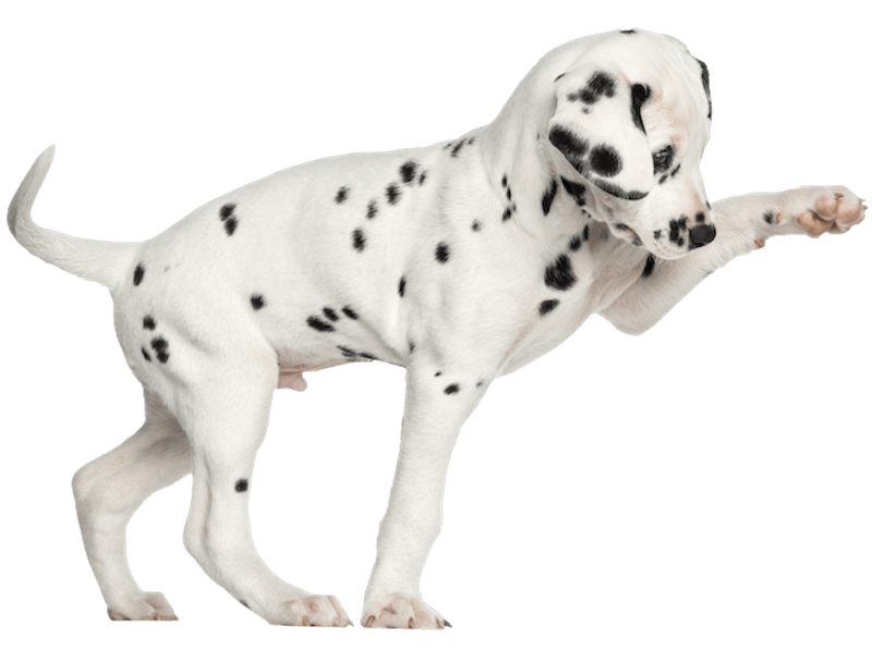 dalmation-pup-png800