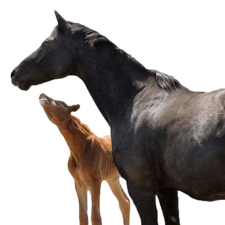 foal-mare-talk735white