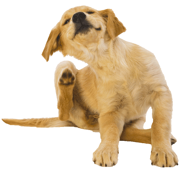 gold-ret-pup-scratching700png