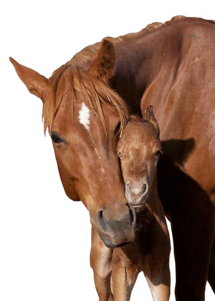 mare-foal1000white