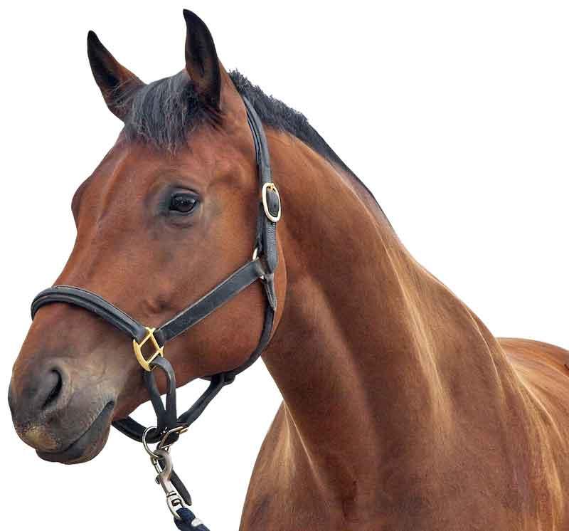 horse-head600white